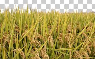 Rice Paddy Field PNG