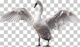 Mute Swan Bird Goose Gray Wolf Horse PNG