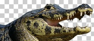 Caiman Open Mouth PNG