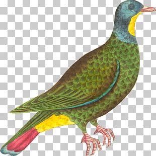 Beak Finches Black-naped Fruit Dove Galliformes Painting PNG