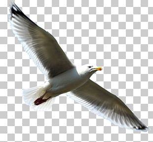 European Herring Gull Bird PNG