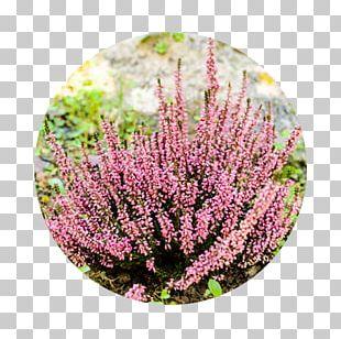 Garden Shrub Flower Plants Heath PNG