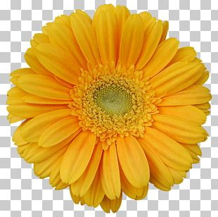 Transvaal Daisy Yellow Stock Photography Flower PNG