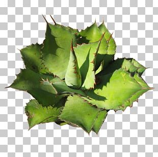 Agave Cupreata Succulent Plant Aztekium Cactaceae PNG