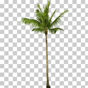 Asian Palmyra Palm Coconut Babassu Arecaceae Tree PNG