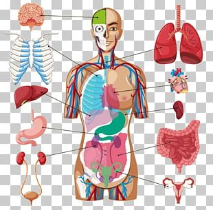 Human Body Organ Diagram Anatomy PNG