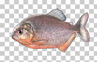 Oily Fish Fish Products Fauna Tilapia PNG