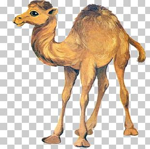 Bactrian Camel Drawing Dromedary PNG