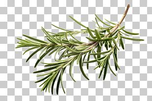 Herb Spice Rosemary Flavor PNG