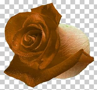 Garden Roses Flower Petal Black Rose PNG