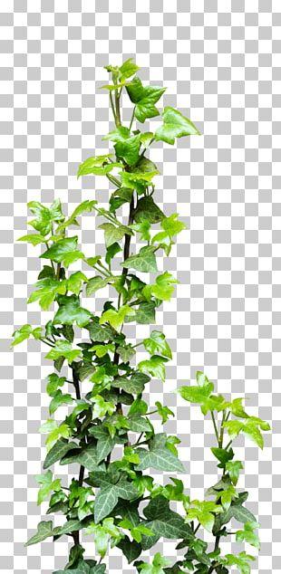 Vine Plant PNG