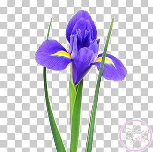 Orris Root Irises Sevastopol Cut Flowers PNG