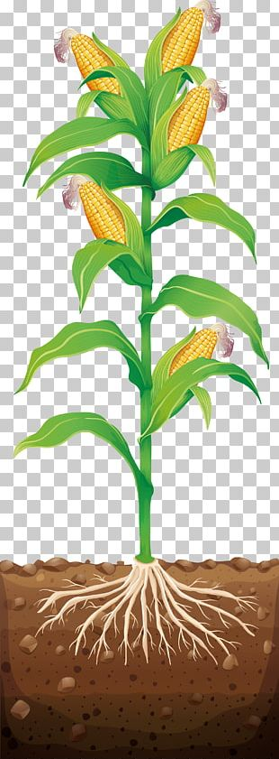 Corn On The Cob Maize Illustration PNG