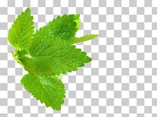 Lemon Balm Herb Mint Leaf PNG