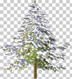 Spruce Christmas Tree Fir Pine PNG