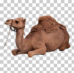 Dromedary Bactrian Camel PNG