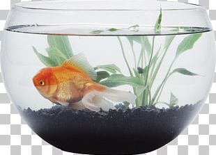 Siamese Fighting Fish Goldfish Aquarium Bowl PNG