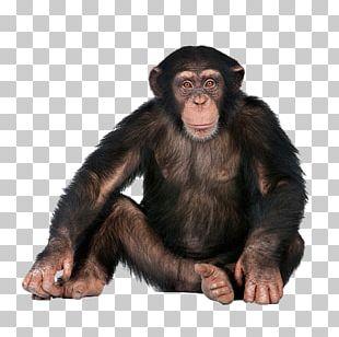 Chimpanzee Monkey Ape Gorilla PNG