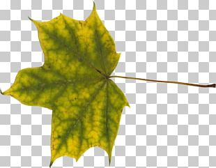 Maple Leaf Norway Maple PNG