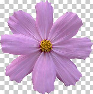 Flower Garden Rose Cosmos PNG
