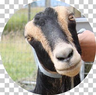 American Lamancha Goat Gothberg Farms LLC Bow Sheep PNG