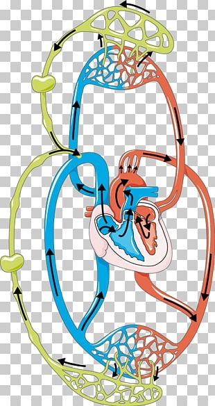 Lymphatic System Circulatory System Blood Lymph Node PNG