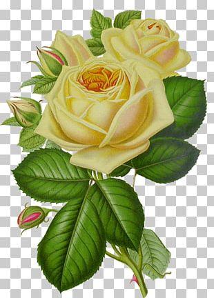 White Rose Vintage PNG