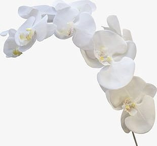 White Orchid PNG