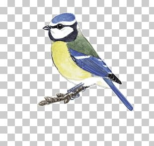Blue Jay Finch Cobalt Blue Beak Chickadee PNG