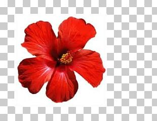 Shoeblackplant Hawaiian Hibiscus Flower Common Hibiscus Roselle PNG