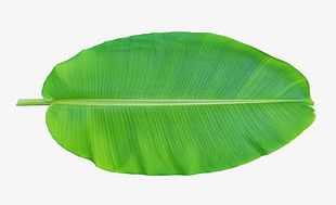 Banana Leaves Positive PNG
