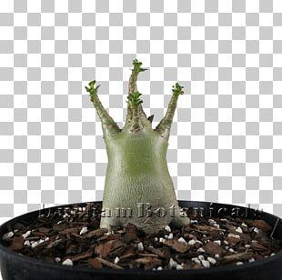 Houseplant Adenium Arabicum Succulent Plant Cactaceae PNG