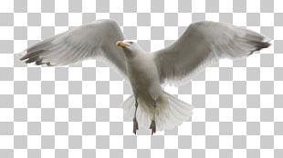 Gulls Bird Photo Manipulation PNG
