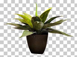 Dracaena Fragrans Dragon Tree Flowerpot Houseplant PNG