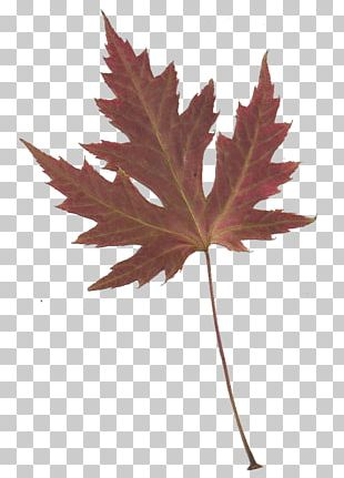 Maple Leaf Japanese Maple PNG