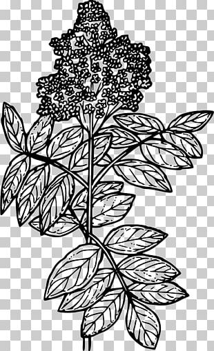 Line Art Elderberry Drawing PNG