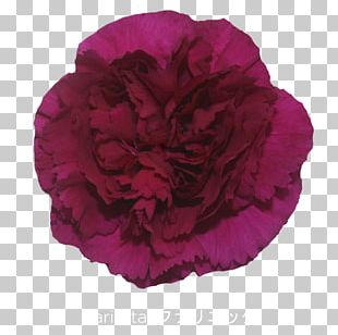 Cabbage Rose Carnation Cut Flowers Petal Peony PNG