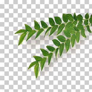 Neem Tree Leaf Herb PNG