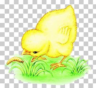 Chicken Bird Eating Worm Illustration PNG