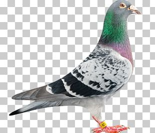 Homing Pigeon Racing Homer Columbidae Bird Bald Eagle PNG