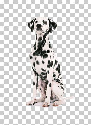 Dalmatian Dog Puppy Dog Harness Dog Collar Pet PNG