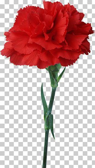 Carnation Flower Red Floristry PNG