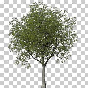 Tree Woody Plant Shrub Askur PNG