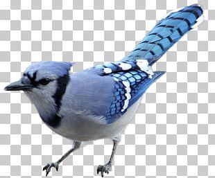 Brown-headed Cowbird Blue Jay Woodpecker PNG