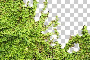 Parthenocissus Tricuspidata Tiger Euclidean PNG