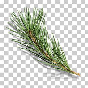 Branch Pine Tree PNG