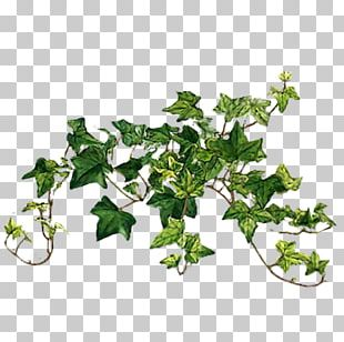 Common Ivy Vine Plants Portable Network Graphics PNG