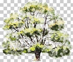 Tree Watercolor Painting Oak Drawing PNG
