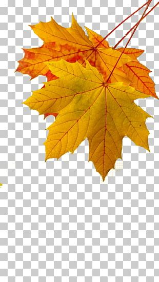 Maple Leaf Autumn Leaf Color Yellow PNG