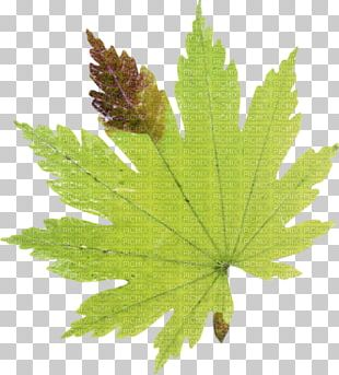 Maple Leaf Autumn Leaves Drawing PNG